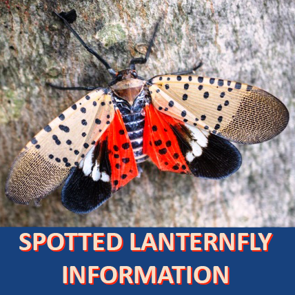Spotted Lanternfly Information Graphic
